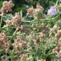 Alfalfa seed set